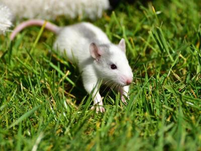 Patkány-kísérletek igazolhatják, hogy a mobil-sugárzás rákkeltő